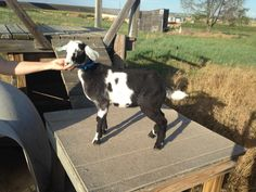 Bangle, our mini nubian buck here at Country Home Farm