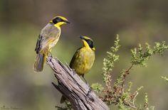 Yellow-tufted Honeyeater that inhabit Australia by Duade Paton via 500px