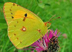 Postillion Colias crocea Clouded Yellow Schmetterlinge und Raupen Südeuropas Griechenland Italien Südfrankreich Spanien Portugal Korsika Sardinien Kroatien Schmetterling