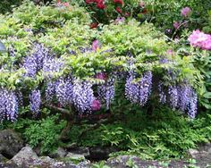 New plant put on north fence.  Old plant on south hill, and on south fence.  Wisteria also on east fence, at top of hill.  Lots of wisteria in general, all purple, from same mother plant.
