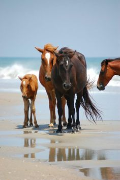 You can see wild horses at the Outer Banks of North Carolina! All The Pretty Horses, Beautiful Horses, Animals Beautiful, Cute Animals, Wild Mustangs, Wild Horses, Black Horses, Free Horses, Horse Love