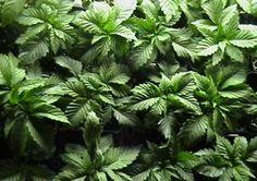 warrenthestrain:  stoner  marijuana strain herb 420 cannabis...