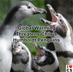 Chiles Humboldt Penguins Imperiled By Climate Change  Read More: