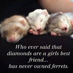 Not wild; loved my Ferrets Niet wild; was gek op mijn Fretten