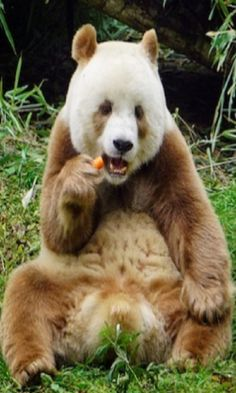The World's Only Brown Panda Who Was Abandoned As A Baby, Finally Finds Happiness #panda #wild #animals