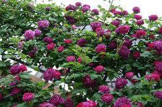 'Baron Girod de l'Ain' (1897) Hybrid Perpetual rose   Very Happy RoseTime