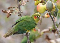 Sulphur-winged Parakeet (Pyrrhura hoffmanni) photo image