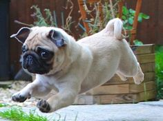 Flying pug puppy. Pugs are the most adorable dog in the universe and if you don't agree there is something wrong with you <3