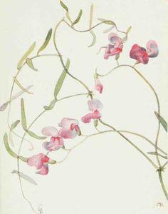 Wild Sweet Pea. Lathyrus graminifolius.