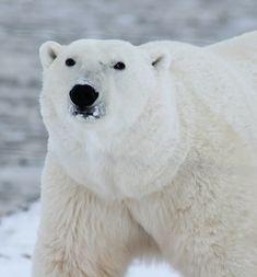 Der Contentbär SEO Contest 2021 Für Dummies, Polar Bear, Den, Animals, Cruises, Pictures, Animales, Animaux, Animal