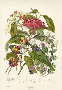 Botanical Drawings | Elizabeth Twining Botanical prints 1849