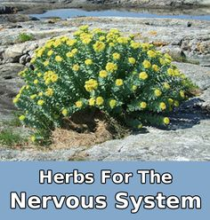 Learn which herbs that are good for the Nervous System