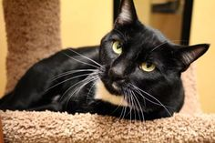 Bowser has been adopted from Seattle Humane http://www.seattlehumane.org/adoption/cats