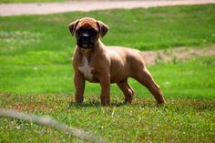 How To Stop Your Boxer Puppy Toileting Inside: There are a few secrets to toilet training although much of the emphasis will always rest with you! Here are the facts about puppy toilet training: Just as when a baby needs to go toilet they go, so it is with puppies – when a puppy needs to go they will go! So to start