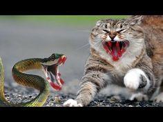 amazing cat attacks cobra - cat vs snake - snake vs cat