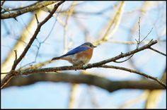 Blue Bird In Tree Sharon Popek