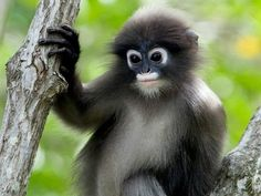 10 Unique Animals in Myanmar's Mergui Archipelago — Burma Boating: Sailing Holidays, Yacht Charters and Private Cruises in Myanmar & Beyond Primates, Mammals, Unique Animals, Animals And Pets, Baby Animals, Cute Animals, Odd Animals, Monkey See Monkey Do, Ape Monkey