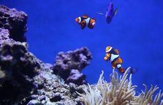 underwater photography of clown fish and blue thang Underwater Photos, Underwater Photography, Animal Photography, Underwater Sea, Focus Photography, Ocean Ecosystem, Marine Ecosystem, Potpourri, Aquarium Pictures