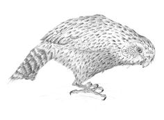 Strigops habroptila These ancient and endangered birds remain on my mind. Bird Illustration, Illustrations, Bird Sculpture, Bird Drawings, Calendar, Birds, Animals, Art, Art Background