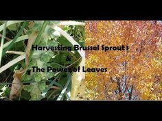 Harvesting Brussel Sprouts & The Power of Leaves The Wisconsin Vegetable… on this episode of The Wisconsin Vegetable Gardener #WI #Gardening