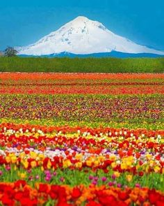 Photo of Tulip fields, Mt Hood, Oregon What A Wonderful World, Beautiful World, Beautiful Places, Amazing Places, Amazing Photos, Beautiful Boys, Mountain Photos, Belle Photo, The Great Outdoors