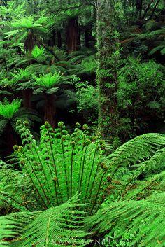 Ferns in podocarp forest, Whirinaki Conservation Park, New Zealand