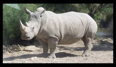 Spotlight – White Rhinoceros