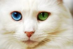 The eyes are beautiful. I had a cat that looked just like him, with 2 Blue eyes. Zues