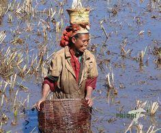Eine Frau im Hochland von Madagaskar fischt in den Reisfeldern nach Pirina. Diese kleinen Fische sind frittiert ein beliebtes Gericht in Madagaskar. Basel, Straw Bag, Madagascar, Vacation Places, Pisces, Places To Travel, Travel, Woman