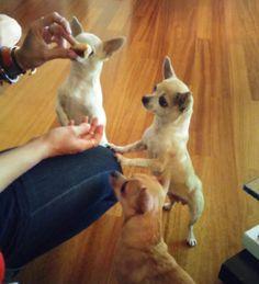 10 cose da sapere se vuoi prendere un chihuahua -cosmopolitan.it