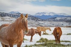 Few things as perfect as this. Horses, snow, Colorado at its finest!   Photo Credit: Molly Johnson
