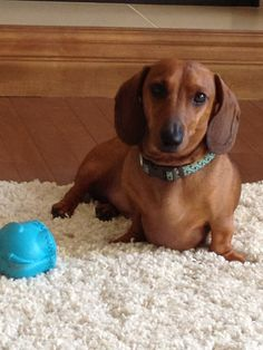 Willy the Wiener Dog Doggies, Pet Dogs, Dog Cat, Dog Love, Puppy Love, Crusoe The Celebrity Dachshund, Wiener Dogs, Michael Myers, Diamond Are A Girls Best Friend