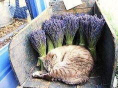 don't worry, the sleeping cat in the photo above is safe. Fresh lavender is not toxic to felines, only the essential oils derived from the plants are.