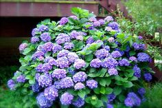 How to Propagate Your Hydrangea Bush. I have these around my deck and I still want more. :)  Going to try this!