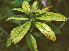Comment soigner les rosiers de la chlorose et de la maladie des feuilles jaunes…