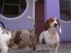 Baldhy (Dachshund Clube) Tags: dog co branco dachshund wiener cachorro piebald…