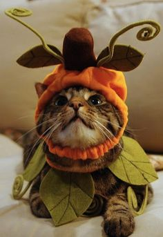 Pumpkin costume for a cat