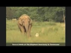 Elephant Mourns Loss of Canine Companion: Tarra And Bella, Elephant Sanctuary in Tennessee