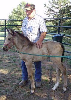 Missouri Fox Trotter Horse For Sale, Missouri, Licking