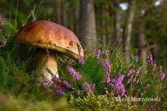 Boletus edulis by Marek Mierzejewski www.butterfly-photos.org on 500px