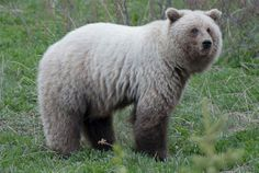 A blond grizzly, known as the 'spirit bear,' was shot on May 22 in the Yukon. The shooting has sparked a social media campaign on Facebook that calls for a no-hunting corridor along all Yukon highways.