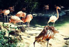 Flamingos (Phoenicopteridae)[OC] [960x720] at Dallas Forth Worth Zoo