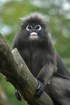 Dusky Leaf Monkey (by Truus & Zoo)
