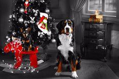 Foto de Mascota personalizada_3 Dogs, Animals, Pet Pictures, Photo Studio, Fotografia, Animales, Animaux, Pet Dogs, Doggies