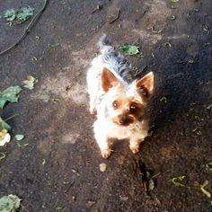 Yorkshire Terrier Angie Nie den Mut verlieren – bin 10 Jahre alt, seit 3 Jahren blind und habe eine schwere Krebs-OP überstanden! Hundename: Angie / Rasse: Yorkshire Terrier      Mehr Fotos: https://magazin.dogs-2-love.com/foto/yorkshire-terrier-angie-2/ Foto, Gesundheit, Hund