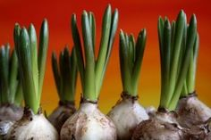 Know when to plant flower bulbs ... daffodils, hyacinth, tulips, oh my!