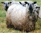 corriedale sheep - Google Search