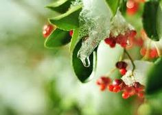 Résultats de recherche d'images pour « WINTER BERRIES » Christmas Berries, Winter Berries, Image