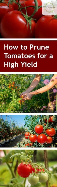How to Prune Tomatoes for a High Yield - Gardening How to Grow Tomatoes Tomatoe Growing Tips How to Grow Tons of Tomatoes Vegetable Growing Tips and Tricks How to Grow The Best Tomatoes Popular Pin Veg Garden, Edible Garden, Veggie Gardens, Fruit Garden, Garden Beds, Growing Plants, Growing Vegetables, Gardening Vegetables, Fertilizer For Tomatoes