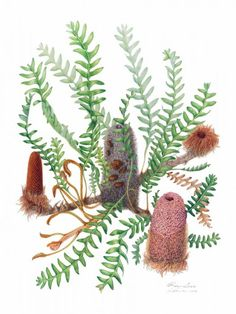 This species of Banksia occurs naturally at Jerramungup and Gibson in southern Western Australia where it is found in sandy soils in sand plain country, in heath, and sometimes associated with mallee. It is vulnerable in its native ha Royal Botanic Gardens Sydney, Australian Wildflowers, The Sydney Morning Herald, Native Plants, Botanical Gardens, Cactus Plants, Wild Flowers, Nativity, Flora